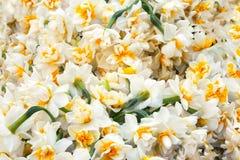 White daffodils flowers bouquet in garden, Turkish nergis mythologic narcissus Royalty Free Stock Images