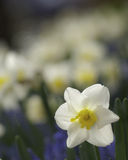 White Daffodils. Group of White Daffodils in a garden Royalty Free Stock Photo