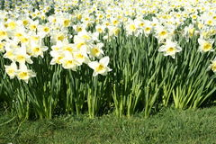 Free White Daffodils In Spring Royalty Free Stock Photo - 2188885