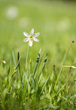 White daffodils. White isolated daffodil on a meadow Stock Photo