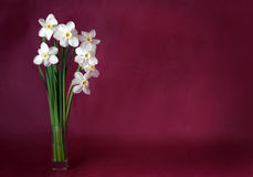 White daffodils on a maroon background. Bouquet of white daffodils on a maroon background Royalty Free Stock Image