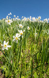 White daffodils. On a meadow with blue sky Stock Photos