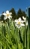 White daffodils. On a meadow with blue sky Stock Images