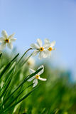 White daffodils. On a meadow with blue sky stock image