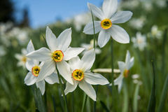 White daffodils Stock Photos