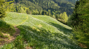 White daffodils. On a meadow with a trail royalty free stock photos
