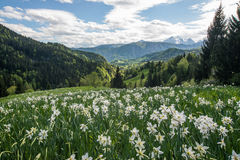 White daffodils with mountains. White daffodils on a meadow with blue sky and mountains in the background Stock Photos