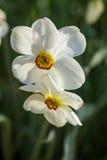 White Daffodils Royalty Free Stock Photo