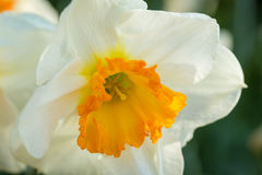 White Daffodils Royalty Free Stock Photography