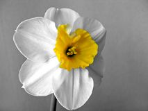 White daffodils narcissus. With yellow cup Stock Image