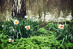 White daffodils, nettle, and birch on the lake shore Stock Photos