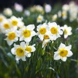 White daffodils royalty free stock photos