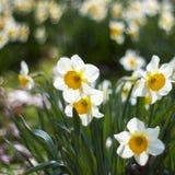 White daffodils stock image