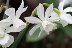 White daffodils in spring garden Stock Photography