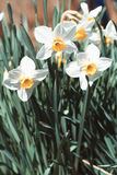 White daffodils in spring Stock Photography
