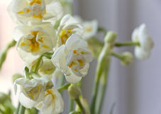 White Daffodils Royalty Free Stock Photos