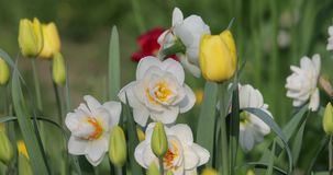 White daffodils in the summer in the yard.  stock footage