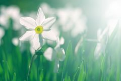 White daffodils in the sunlight on a beautiful blurred natural background. Soft selective focus. White daffodils in the sunlight on a beautiful blurred natural stock images