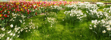 White Daffodils and tulips in the garden. Stock Photography
