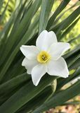 White Daffodils. Also known as Jonquils, are spring perennial plants. The flowers are generally white or yellow. They are easy to grow and are excellent cut stock photos