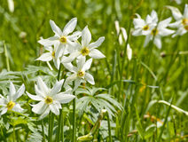 White daffs on a meadow Stock Images