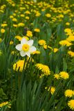 White dafodil. In dandelion field stock photo