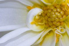 White dahlia Stock Photo