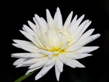 A white Dahlia Stock Photos