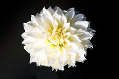 White Dahlia Royalty Free Stock Image