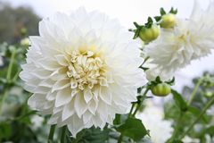 White dahlia Stock Photography