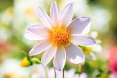 White dahlia. Closed up of white dahlia stock photo
