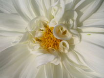 White Dahlia. A beautiful white dahlia - close-up Stock Photos