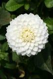 White Dahlia. Full view of a white dahlia. Nice symmetrical pattern stock images