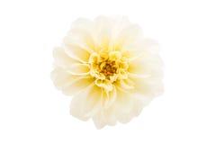 White dahlia Stock Image