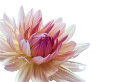 White Dahlia on a white background of isolates. For congratulations and postcards. to help florists royalty free stock photography
