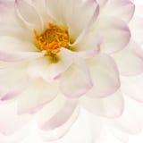 White dahlia background Royalty Free Stock Photography