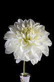 White dahlia on black. Stock Image