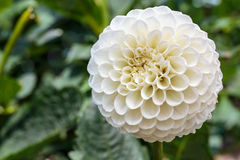 White dahlia in bloom in a garden Royalty Free Stock Photo