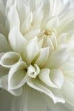 White dahlia blossom. Stock Image