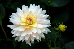 White dahlia with bud in garden Stock Photography