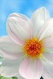 White dahlia close up Royalty Free Stock Photography