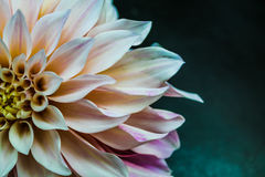 White Dahlia Close Up Royalty Free Stock Photography