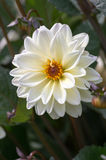 White dahlia Royalty Free Stock Photography