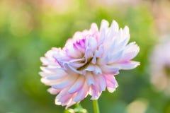 White dahlia close-up Stock Photography