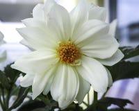 White Dahlia Royalty Free Stock Photography