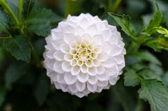 White Dahlia Closeup Photography Stock Image