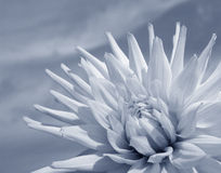 White Dahlia (duotone). White Dahlia flower with blue sky on background in a sunny summer day. Duotone version (blue tint), suitable for romantic design Stock Image