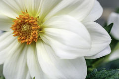 White Dahlia Stock Images