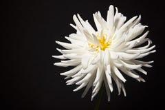 White dahlia flower. Against black background Stock Images