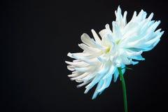 White dahlia flower. Against black background Stock Image